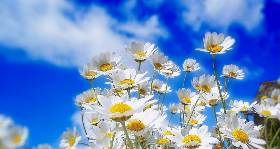 White-Daisies-in-Spring