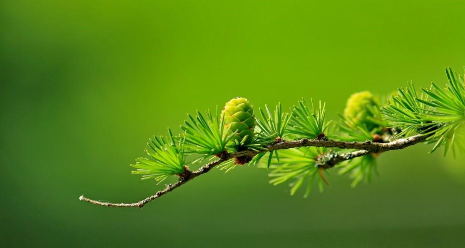larch_branch_tree
