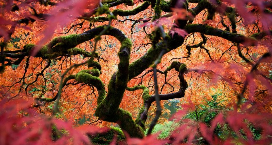 japanese-maple-portland_55494_990x742